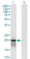 Western Blot analysis of UBE2H expression in transfected 293T cell line by UBE2H monoclonal antibody (M01), clone 3C4-1A2.Lane 1: UBE2H transfected lysate(20.7 KDa).Lane 2: Non-transfected lysate.