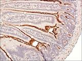 Immunohistochemistry: UBCH6 Antibody - IHC of UBCH6 in mouse intestine using DAB with hematoxylin counterstain.  This image was taken for the unconjugated form of this product. Other forms have not been tested.