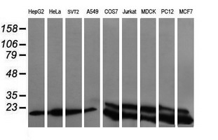 Western blot of extracts (35 ug) from 9 different cell lines by using g anti-UBE2G2 monoclonal antibody (HepG2: human; HeLa: human; SVT2: mouse; A549: human; COS7: monkey; Jurkat: human; MDCK: canine; PC12: rat; MCF7: human).
