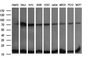 Western blot of extracts (35 ug) from 9 different cell lines by using anti-UBE2G2 monoclonal antibody (HepG2: human; HeLa: human; SVT2: mouse; A549: human; COS7: monkey; Jurkat: human; MDCK: canine; PC12: rat; MCF7: human).