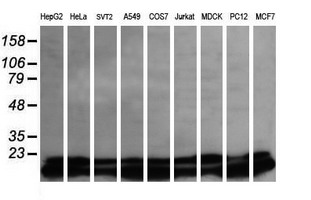 Western blot of extracts (35ug) from 9 different cell lines by using anti-UBE2G2 monoclonal antibody (HepG2: human; HeLa: human; SVT2: mouse; A549: human; COS7: monkey; Jurkat: human; MDCK: canine; PC12: rat; MCF7: human).