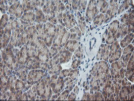 UBE2G2 Antibody - IHC of paraffin-embedded Human pancreas tissue using anti-UBE2G2 mouse monoclonal antibody. (Heat-induced epitope retrieval by 10mM citric buffer, pH6.0, 120°C for 3min).