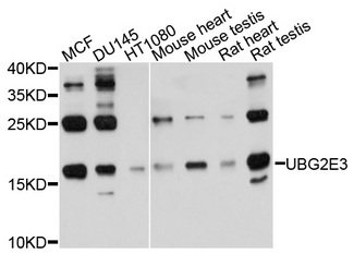 UBE2G2 Antibody - Western blot analysis of extracts of various cell lines, using UBE2G2 antibody at 1:1000 dilution. The secondary antibody used was an HRP Goat Anti-Rabbit IgG (H+L) at 1:10000 dilution. Lysates were loaded 25ug per lane and 3% nonfat dry milk in TBST was used for blocking. An ECL Kit was used for detection and the exposure time was 30s.