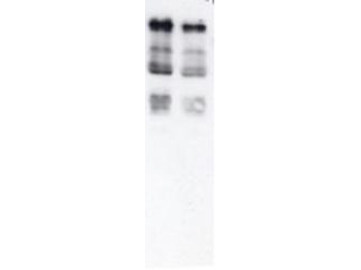 Ubiquitin Antibody - Western blot of Ubiquitin. Anti-Ubiquitin antibody, generated by immunization with Ubiquitin coupled to Rabbit IgG, was tested by western blot against total cell extract from yeast. Dilution of the antibody between 1:200 and 1:1,000 showed strong reactivity with Ubiquitinated proteins. In this blot the antibody was used at a 1:500 dilution incubated overnight at 4° C in 5% non-fat dry milk in TTBS. Detection occurred using a 1:2000 dilution of HRP-labeled Donkey anti-Rabbit IgG for 1 hour at room temperature. A chemi-luminescence system was used for signal detection (Roche). Other detection systems will yield similar results.