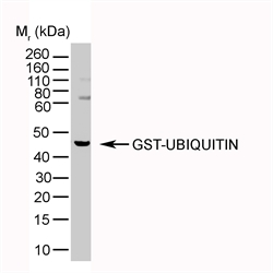 GST-ubiquitin detected with Mouse anti-Ubiquitin (LS-C43546).