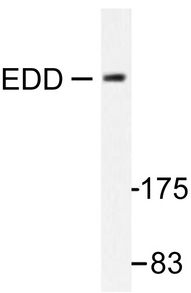 Western blot of EDD (T14) pAb in extracts from A549 cells.