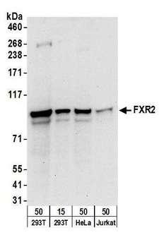 UBXD7 Antibody - Detection of human FXR2 by western blot. Samples: Whole cell lysate from HEK293T (15 and 50 µg), HeLa (50µg), and Jurkat (50µg) cells. Antibodies: Affinity purified rabbit anti-FXR2 antibody used for WB at 0.1 µg/ml. Detection: Chemiluminescence with an exposure time of 30 seconds.