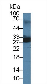 Uchl4 Antibody - Western Blot; Sample: Mouse Lung lysate; Primary Ab: 3µg/ml Rabbit Anti-Mouse UCHL4 Antibody Second Ab: 0.2µg/mL HRP-Linked Caprine Anti-Rabbit IgG Polyclonal Antibody