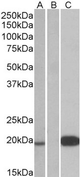 UCN3 / SPC Antibody - HEK293 lysate (10ug protein in RIPA buffer) over expressing Human UCN3 with DYKDDDDK tag probed with (1ug/ml) in Lane A and probed with anti- DYKDDDDK Tag (1/3000) in lane C. Mock-transfected HEK293 probed (1mg/ml) in Lane B. Primary