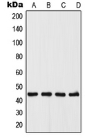 Western blot analysis of UGCG expression in A375 (A); MCF7 (B); Raw264.7 (C); PC12 (D) whole cell lysates.