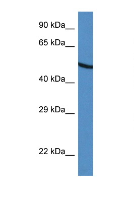 UGDH / GDH antibody LS-C145395 Western blot of HepG2 Cell lysate. Antibody concentration 1 ug/ml.  This image was taken for the unconjugated form of this product. Other forms have not been tested.