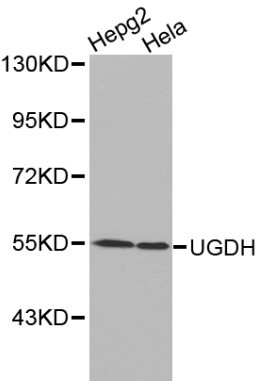 Western blot of UGDH pAb in extracts from HepG2 and Hela cells.