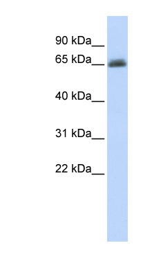 UGT2B15 antibody LS-C101936 Western blot of MCF7 cell lysate.  This image was taken for the unconjugated form of this product. Other forms have not been tested.