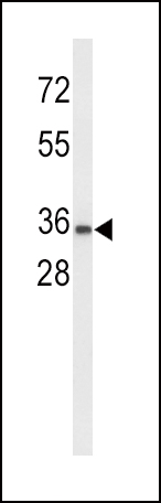 Western blot of UPK1A Antibody in K562 cell line lysates (35 ug/lane). UPK1A (arrow) was detected using the purified antibody.