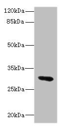 Western blot All Lanes: UPK3A antibody IgG at 1.76ug/ml+ Mouse lung tissue Secondary Goat polyclonal to rabbit IgG at 1/10000 dilution Predicted band size: 31,18 kDa Observed band size: 31 kDa
