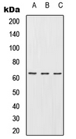 URI1 / NNX3 Antibody - Western blot analysis of URI1 expression in Jurkat (A); Raw264.7 (B); PC12 (C) whole cell lysates.