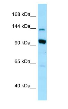 US01 / p115 antibody Western Blot of 293T.  This image was taken for the unconjugated form of this product. Other forms have not been tested.