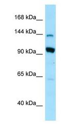 US01 / p115 Antibody - US01 / p115 antibody Western Blot of 293T.  This image was taken for the unconjugated form of this product. Other forms have not been tested.