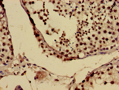 US01 / p115 Antibody - Immunohistochemistry image of paraffin-embedded human testis tissue at a dilution of 1:100