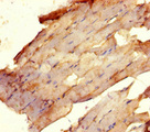 Immunohistochemistry of paraffin-embedded human skeletal muscle tissue using USF1 Antibody at dilution of 1:100