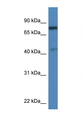 USP10 antibody LS-C145246 Western blot of Rat Lung lysate. Antibody concentration 1 ug/ml.  This image was taken for the unconjugated form of this product. Other forms have not been tested.