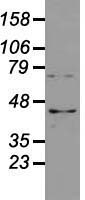 Western blot analysis of 35ug of cell extracts from human Liver carcinoma (HepG2) cells using anti-USP38 antibody.