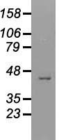 Western blot analysis of 35ug of cell extracts from Green monkey Kiney (COS7) cells using anti-USP38 antibody.
