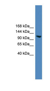 USP7 / HAUSP Antibody - USP7 antibody Western blot of A549 cell lysate. This image was taken for the unconjugated form of this product. Other forms have not been tested.