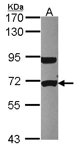 Sample (30 ug of whole cell lysate). A: HCT116. 7.5% SDS PAGE. UTP6 antibody diluted at 1:1000.