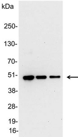 Detection of V5-tagged fusion protein in 200, 100, and 50ng of E. coli lysate