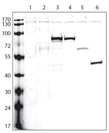 V5 Tag Antibody - Lanes: 1:non-transfected cells; 2:V5-tagged empty plasmid; 3:protein A (V5-tagged); 4:protein B (V5-tagged); 5:protein C (V5-tagged); 6:protein D (V5-tagged); Protocol and data courtesy of Dr. Gustavo Gutierrez, Burnham Institute for Medical Research.