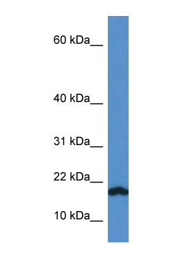 VAMP1 antibody LS-C145251 Western blot of Rat Lung lysate. Antibody concentration 1 ug/ml.  This image was taken for the unconjugated form of this product. Other forms have not been tested.