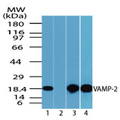 Western blot of VAMP-2 in mouse embryo brain lysate in the 1) absence and 2) presence of immunizing peptide (1 ug/ml), 3) mouse brain (1 ug/ml) and 4) rat brain lysate (2 ug/ml) using Polyclonal Antibody to VAMP-2.