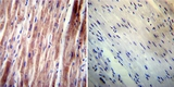 IHC using VAMP4 Antibody