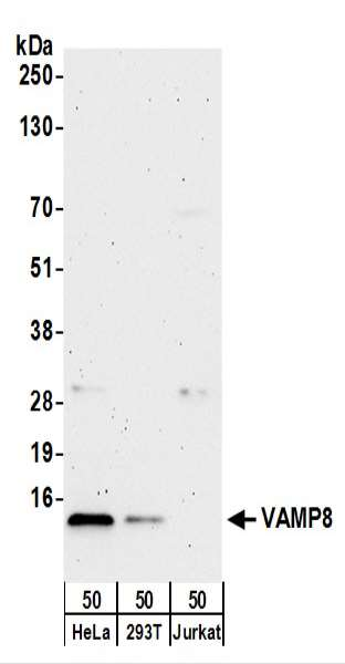Detection of Human VAMP8 by Western Blot. Samples: Whole cell lysate (50 ug) from HeLa, 293T, and Jurkat cells. Antibodies: Affinity purified rabbit anti-VAMP8 antibody used for WB at 0.4 ug/ml. Detection: Chemiluminescence with an exposure time of 3 minutes.