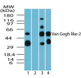 VANGL2 / LTAP Antibody - Western blot of Van Gogh like-2 in human brain lysate in the 1) absence and 2) presence of immunizing peptide, 3) mouse brain and 4) rat brain using Polyclonal Antibody to Van Gogh like-2 at 5 ug/ml, 6 ug/ml and 5 ug/ml, respectively. Goat anti-rabbit Ig HRP secondary antibody, and PicoTect ECL substrate solution, were used for this test.