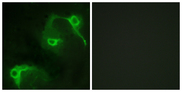 Immunofluorescence analysis of COS7 cells, using VAV2 Antibody. The picture on the right is blocked with the synthesized peptide.