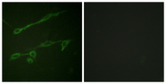 Immunofluorescence analysis of NIH/3T3 cells, using VAV2 (Phospho-Tyr142) Antibody. The picture on the right is blocked with the phospho peptide.