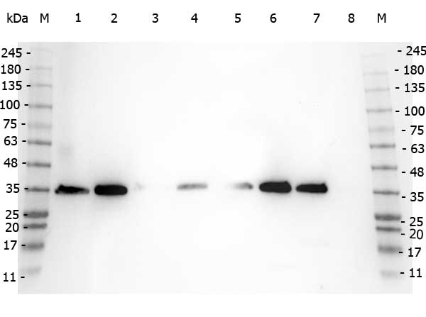VDAC1 / PORIN Antibody - Western Blot of rabbit anti-VDAC/Porin antibody. Marker: Opal Pre-stained ladder Lane 1: HEK293 lysate Lane 2: HeLa Lysate Lane 3: MCF-7 Lysate Lane 4: Jurkat Lysate Lane 5: A431 Lysate Lane 6: LNCaP Lysate Lane 7: A-172 Lysate Lane 8: NIH/3T3 Lysate Load: 35 µg per lane. Primary antibody: VDAC/Porin antibody at 1:1,000 for overnight at 4°C. Secondary antibody: Peroxidase rabbit secondary antibody at 1:30,000 for 60 min at RT. Blocking Buffer: 1% Casein-TTBS for 30 min at RT. Predicted/Observed size: 31 kDa for VDAC\Porin.