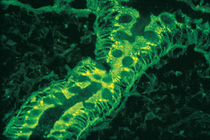Product - Colon stained with fluorescein labeled Amaranthus caudatus lectin mounted with VECTASHIELD® Mounting Medium.