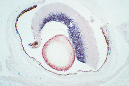 Mouse, Newborn (eye, double label): GFAP (m), M.O.M.™ Peroxidase Kit, Vector® NovaRED® substrate (red); Synapsin (m), M.O.M.™ Peroxidase Kit, DAB+Ni substrate (gray/black). Note contrast with endogenous pigment (brown) seen in surrounding tissues.