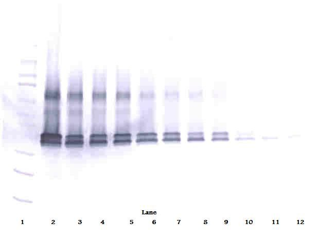 VEGFA / VEGF Antibody - Western Blot (non-reducing) of VEGF antibody. This image was taken for the unconjugated form of this product. Other forms have not been tested.