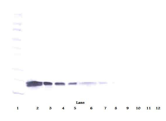 VEGFA / VEGF Antibody - Western Blot (reducing) of VEGF antibody. This image was taken for the unconjugated form of this product. Other forms have not been tested.