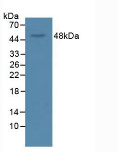 VEGFA / VEGF Antibody - Western Blot; Sample: Rat Serum.