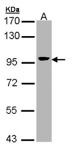 Sample (30 ug of whole cell lysate). A: Hep G2 . 7.5% SDS PAGE. Villin antibody diluted at 1:5000