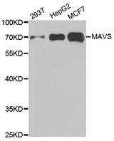VISA / MAVS Antibody - Western blot analysis of extracts of various cell lines.