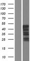 VPS37C Protein - Western validation with an anti-DDK antibody * L: Control HEK293 lysate R: Over-expression lysate