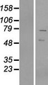 VRTN Protein - Western validation with an anti-DDK antibody * L: Control HEK293 lysate R: Over-expression lysate