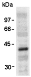 VSV-g Tag Antibody - Western blot of VSV-G-tag pAb expression in transfectant using 563