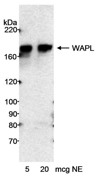 Detection of Human WAPL by Western Blot. Sample: Nuclear extract (NE) from HeLa cells. Antibody: Affinity purified rabbit anti-WAPL antibody used at 0.2 ug/ml. Detection: Chemiluminescence with an exposure time of 20 minutes.